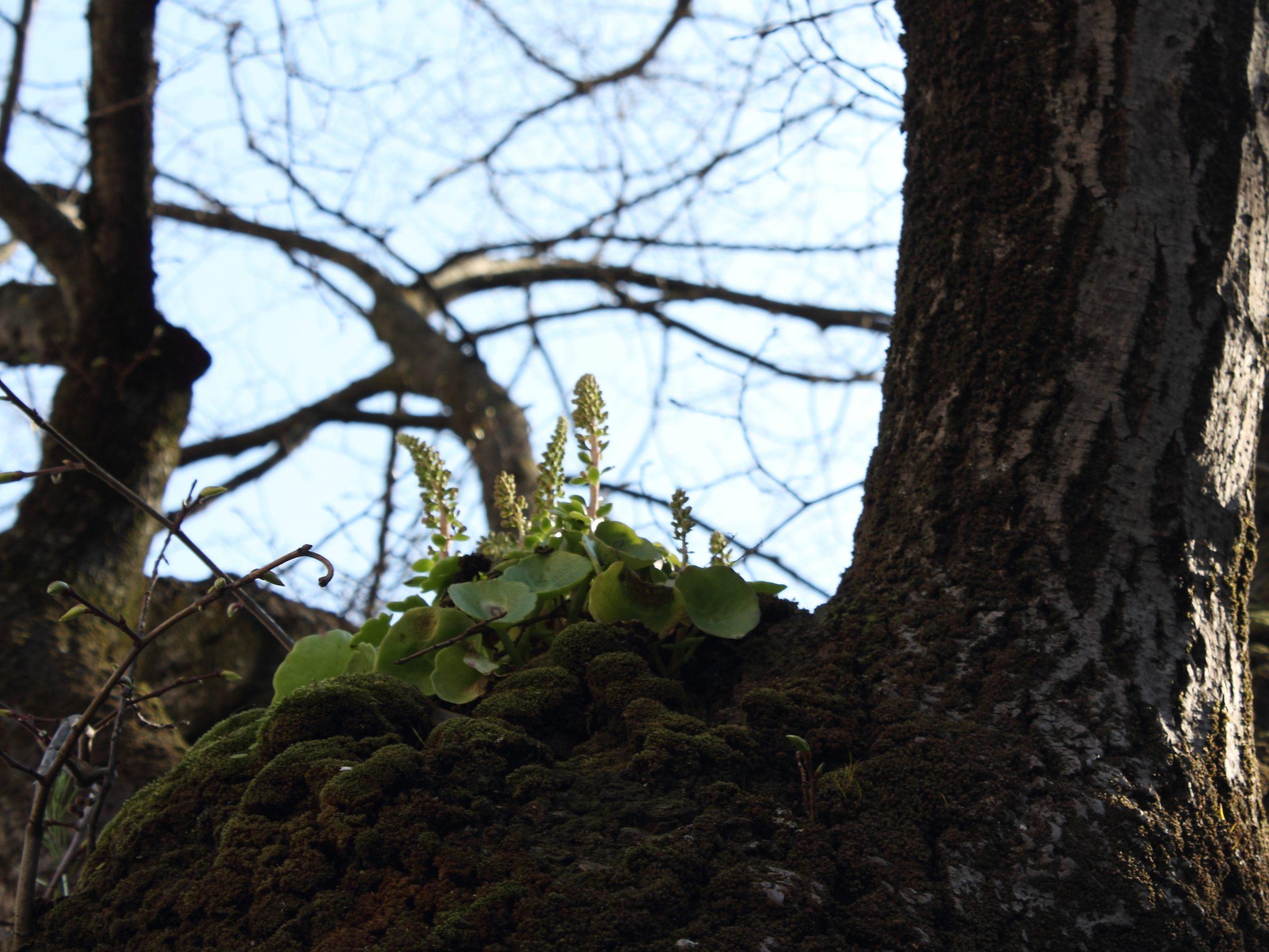 pianta di ombelico di venere su un tiglio